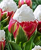 SILKSART 12 Tulip Bulbs early bloom Perennial Bulbs for Garden Planting Beautiful Flower--SHIPPING NOW!!!
