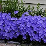 Bellflower Blue Flower Seeds Campanula Carpatica Blue 200 Seeds