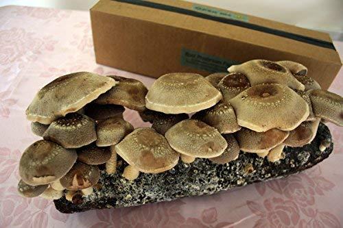 Root Mushroom Farm-Shiitake Mushroom Growing Kit-Starting Right Away-New  Launched
