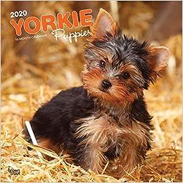 Yorkshire Terrier Puppies Yorkshire Terrier Welpen 2020 16 Monatskalender Mit Freier Dogdays App Original Browntrout Kalender Mehrsprachig Kalender Wall Kalender Amazon De Browntrout Publisher Bucher