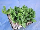 "Euphorbia flanaganii""Medusa Head"" Succulent Crest Nice Plant! EZ 2 Grow 4"" Pot"