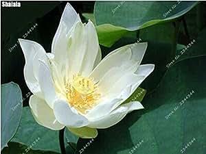 5pcs / bolsa hidropónico B semilla de Lotus del interior Plantas acuáticas Siembra flor Bonsai en maceta Planta para la decoración de jardín 4