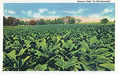 Kentucky - View of a Tobacco Field (12x18 Collectible Art Print, Wall Decor Travel Poster)
