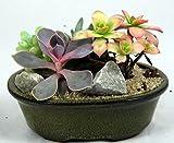 Bonsai Succulent Garden - Easy to Grow - Ceramic Pot