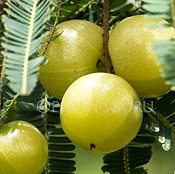 Plantsguru Amla (Big Size Fruit) Indian Goosberry, Phyllanthus emblica Plant Fruit & Fruit Trees at amazon
