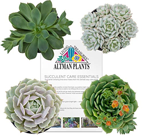 - Altman Plants Assorted Wedding Rosettes and Flowering Succulents Collection for Party Favors, Bridal Showers, Gifts 2.5