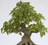trident maple tree 50 Trident Maple Tree Seeds, Acer Buergerianum