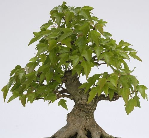 50 Trident Maple Tree Seeds, Acer Buergerianum