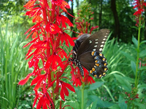 Butterfly Attracting Flower Selection List Collection Butterflies zellajake Bee (Cardinal Flower ()