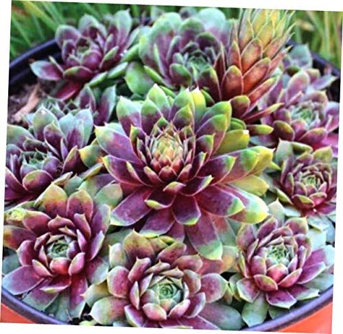 ABELYN Plant Zone 3 to 9 Ruby Heart Sempervivum - Hen and Chick Hardy Plant Succulent - EB274 (And Hens Chicks Plants)