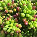 Sedum Rubrotinctum Succulent Jelly Beans - Pork & Beans ROOTED Plant
