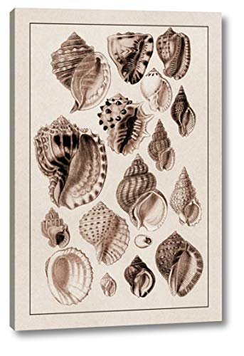 (Shells: Purpurifera (Sepia) by G.B. Sowerby - 13