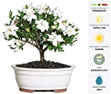 Brussel's Bonsai Live Gardenia Outdoor Bonsai Tree-4 Years Old 6'' to 8'' Tall with Decorative Container - Not Sold in Arizona, Medium,