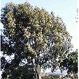Las Semillas del Paquete: Eucalipto - Citriodora - Seed