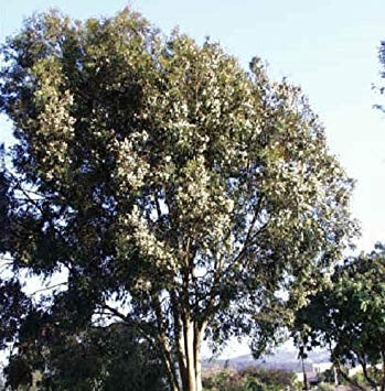 - Eucalyptus - Citriodora - 100 Seeds