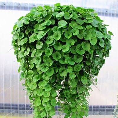 New Dichondra Repens, Emerald Falls Seeds ~ Hanging basket dense, lush ground cover 100+ Seeds : Garden & Outdoor