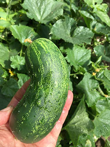 Spacemaster Cucumber Seeds, 100+ Premium Heirloom Seeds, Delicious! for Pickling or Fresh, (Isla's Garden Seeds), Non GMO Organic, 100% Pure, 90% Germination Rates, Highest Quality!