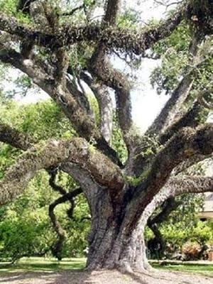5 Seeds Quercus virginiana Live Oak Tree Bonsai Seed