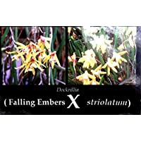 Rilla Australian Flies (Falling Embers x striolata), Orchid Plant