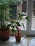 #1087 DWARF HONEY FIG TREE 5 seeds