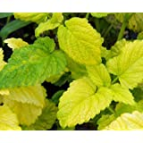 Lemon Balm All Gold aromatic herb loved by bees and butterflies 9cm pot FREE DELIVERY