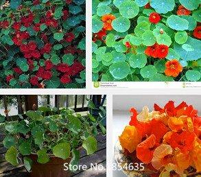 Gartenpflanze 200 Beutel Red Kapuzinerkresse Samen, Safflower Familie Bonsai Blumen Rote Blumensamen Bonsai Seed