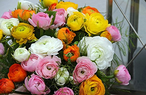 Summer Blooming Bulbs - Persian Buttercups Ranunculus 10 Bulbs - 6/+ cm Bulbs
