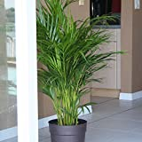 Costa Farms Areca Butterfly Palm Tree, Live