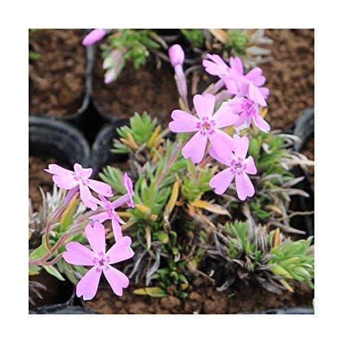 シバザクラ 芝桜 オータムローズ 薄ピンク 75ポットセット グランドカバー B01N0PWH81   オータムローズ