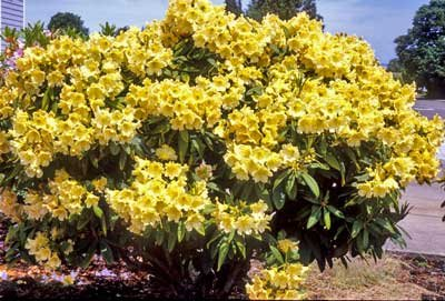 Yellow Rhododendron Shrubs - Huge Yellow Blooms The First Year! - 3 Gallon by Brighter Blooms (Image #3)
