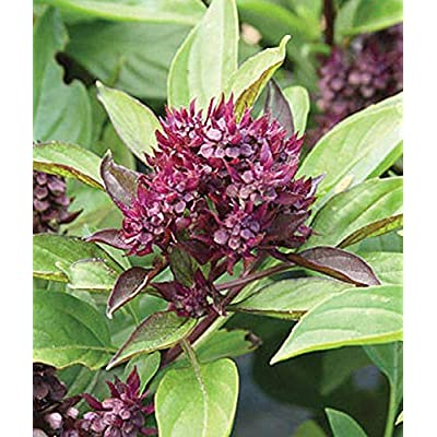 Siam Queen Basil Seeds - used in Thai cooking as well as Italian recipes. !!!(25 - Seeds) : Garden & Outdoor