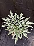 "Amorphophallus henryi 'Narrow Leaf Form' - 4.5"" container - Not Dormant"