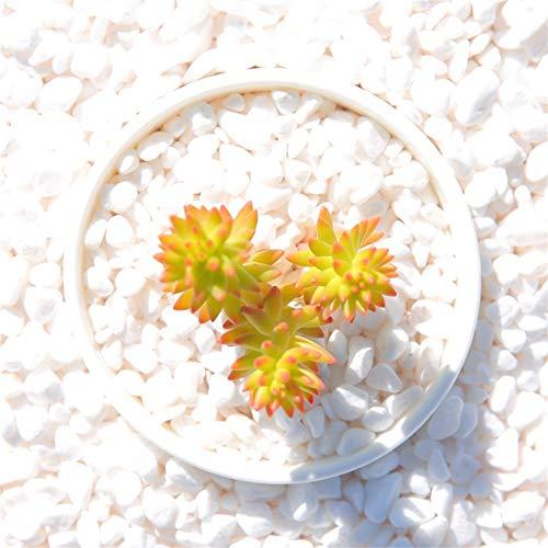 Live Succulent Lithops Cactus Plant | Sedum