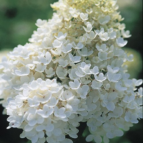 Hydrangea Potted Plant - 'Pee Gee Snowball Hydrangea Healthy Established Roots - 1 Gallon Potted -1 Plant by Growers Solution