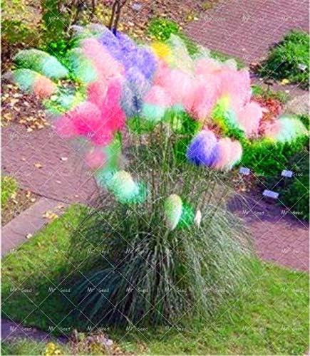 le pot de graines de graines de jardin: 15 Elitely Lot de 100 graines dherbe de Pampas color/ées et d/écoratives pour la maison les fleurs le jardin