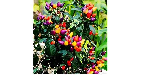 AGROBITS - 50 pimientos orgánicos para jardín: Amazon.es: Jardín