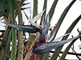 WHITE BIRD OF PARADISE STRELITZIA NICOLAI 10 seeds