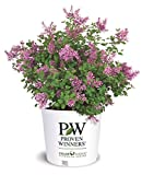 Proven Winners - Syringa x Bloomerang Purple (Reblooming Lilac) Shrub, Purple Flowers, 3 - Size Container