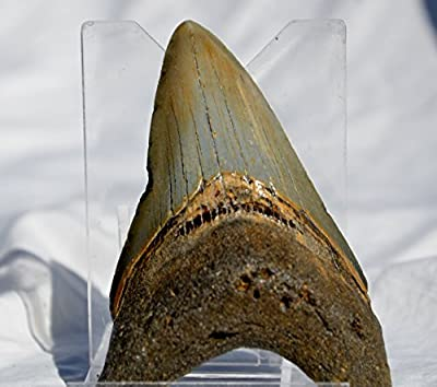 100% Real Large Megalodon Shark Tooth from North Carolina