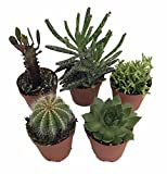 Instant Cactus/Succulent Collection - 5 Plants -Terrarium/Fairy Garden- 2'' pots