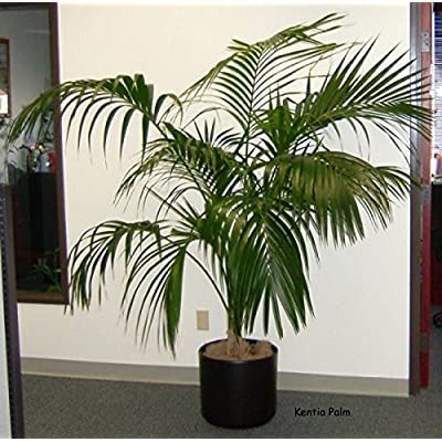 One of The Best Indoor Plant/Kentia Palm/Howea forsteriana 10 Finest Seeds : Garden & Outdoor