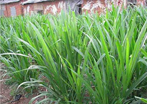 500 Napier Grass Seeds, Elephant Grass Seeds, Pennisetum Purpureum Seeds
