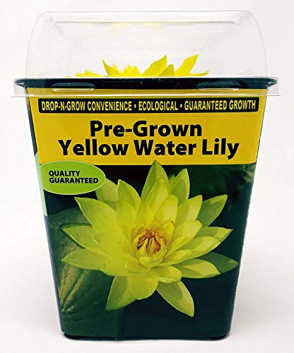 Live Water Lilies | Pre-Grown Hardy Lilies in White, Red, Yellow, Pink (Yellow) by AqualLeaf Aquatics (Image #1)
