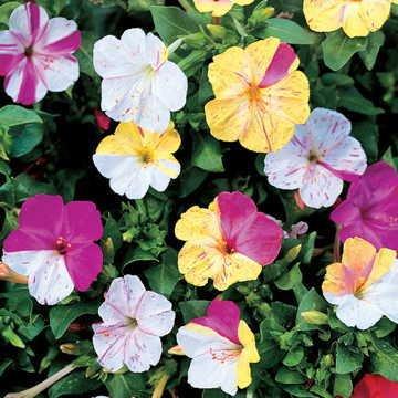 Park Seed Broken Colors Four-O'Clock Flower Seeds