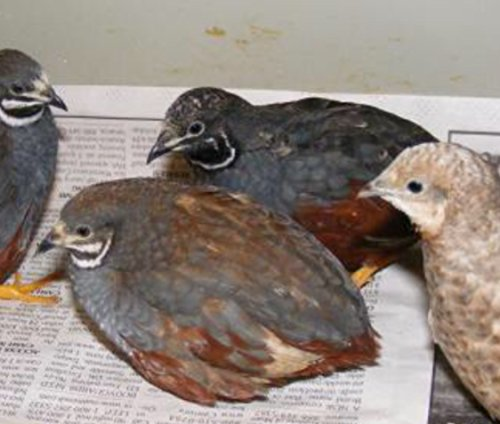 12+ Fertile button quail eggs variety of color - Buy ...