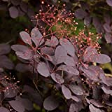 Privick Mill Nursery / Smoke Bush / Cotinus Coggygria / 25 seeds / Ornamental Shrub / Hedging / Bonsai
