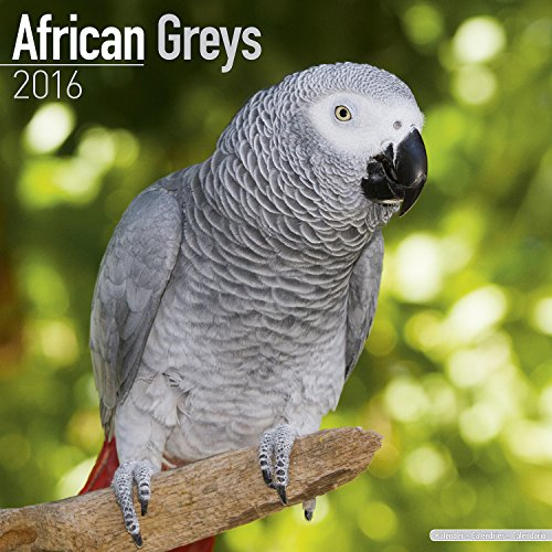 African Greys Calendar - Just African Greys Calendar - 2016 Wall calendars - Animal Calendars - Parrot Calendars - Monthly Wall Calendar by Avonside by MegaCalendars
