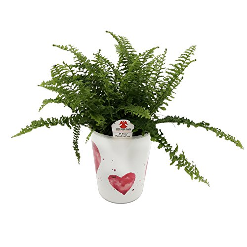 Costa Farms WaterWick Self-Watering Heart Design Planter w/ Premium Exotic Angel Live Indoor Love Fern Plant, 4.8-Inch Pot by Costa Farms (Image #7)