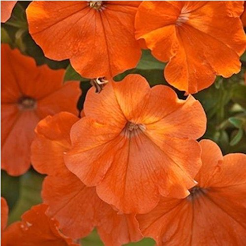 African Sunset ~ Beautiful Orange Petunia Seeds ~ NEW - AAS Winner! ()