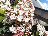 10 Seeds - Viburnum tinus Laurustinus Winter Blooming